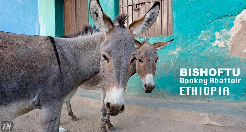 Ethiopia: First Donkey Abattoir Shuts Down