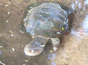 Eritrean Side Neck turtle