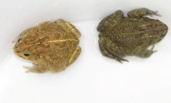 The Asmara Toad