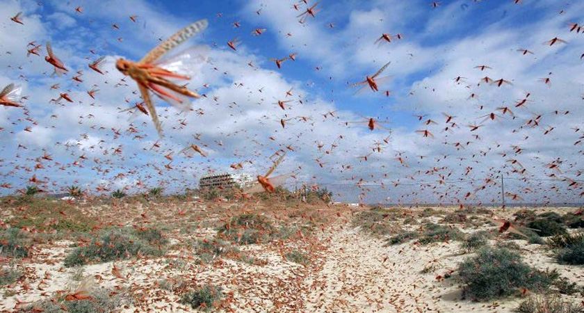 FAO Warns of Locust Outbreak in Sudan and Eritrea