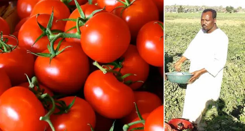 Eritrean Farmer Adopts New Tuta Absoluta Control Technique