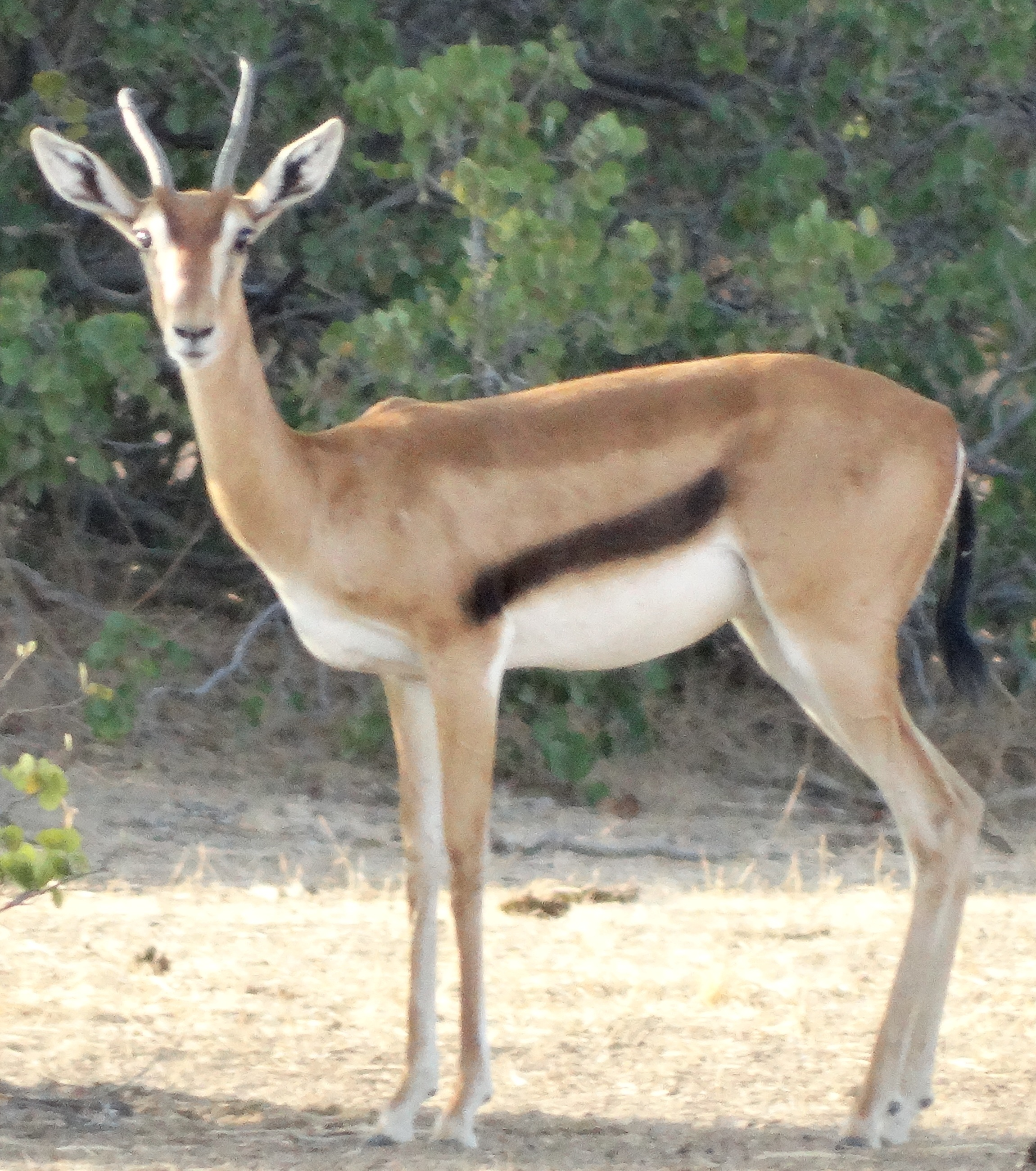 The Eritrean Gazelle (Eudorcas tilonura)