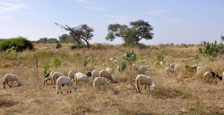 Sheep farming eritrea