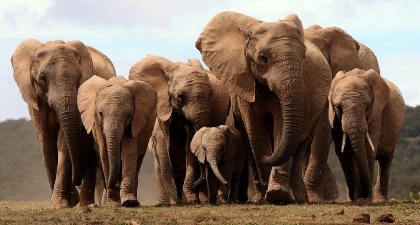 Eritrea becomes the 20th member of the Elephant Protection Initiative