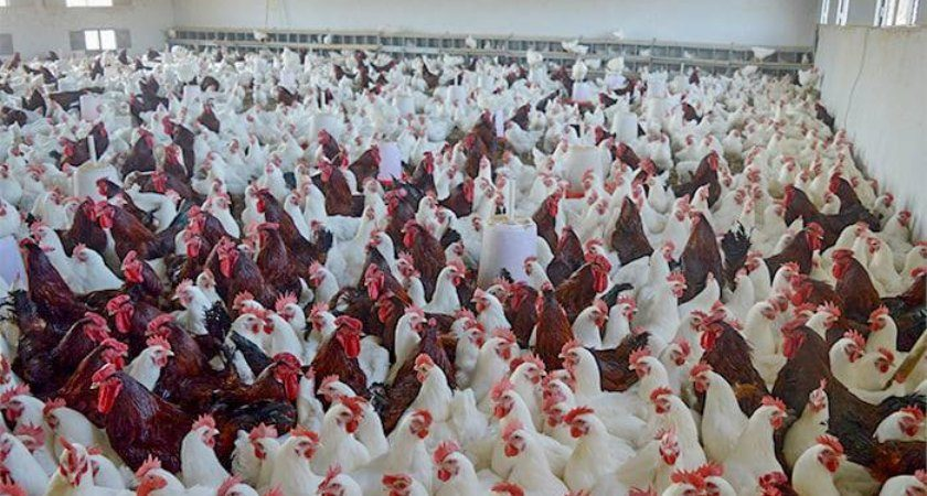 Eritrea: Ministry Reinforces Nationwide Chick Distribution